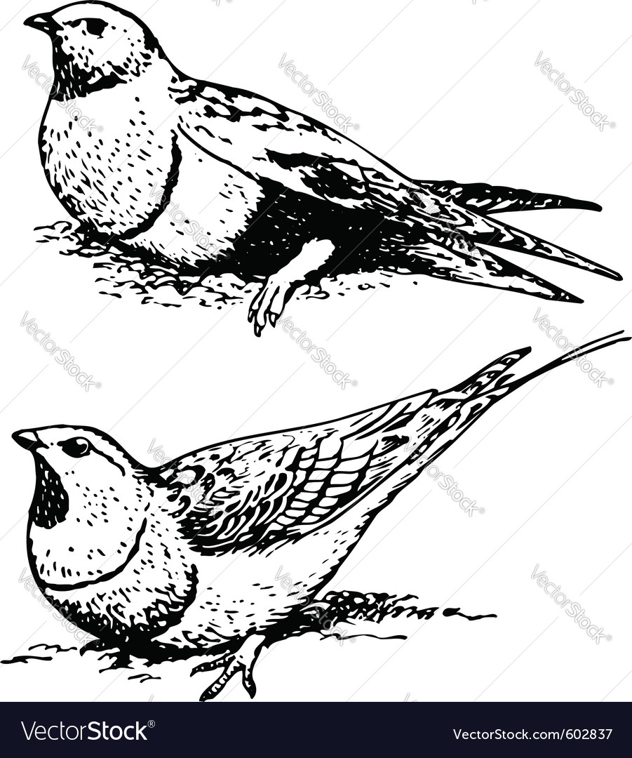 Bird pterocletes vector | Price: 1 Credit (USD $1)