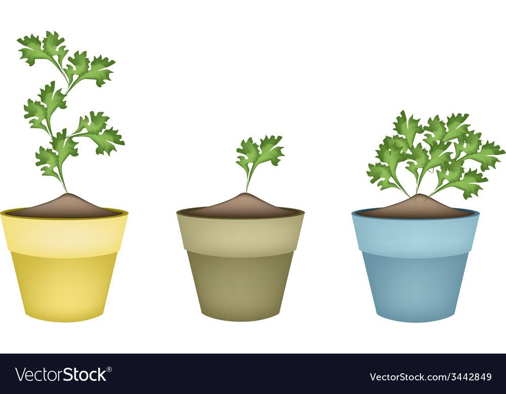 Fresh green coriander in terracotta flower pots vector | Price: 1 Credit (USD $1)