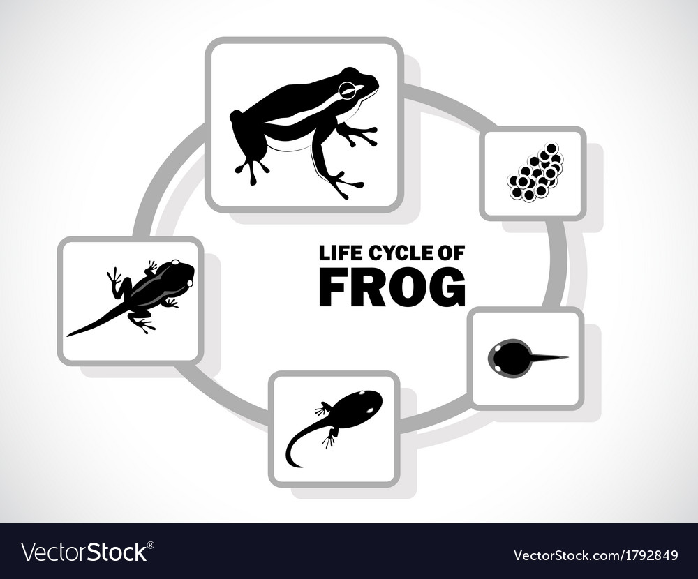 Frog life cycle vector | Price: 1 Credit (USD $1)