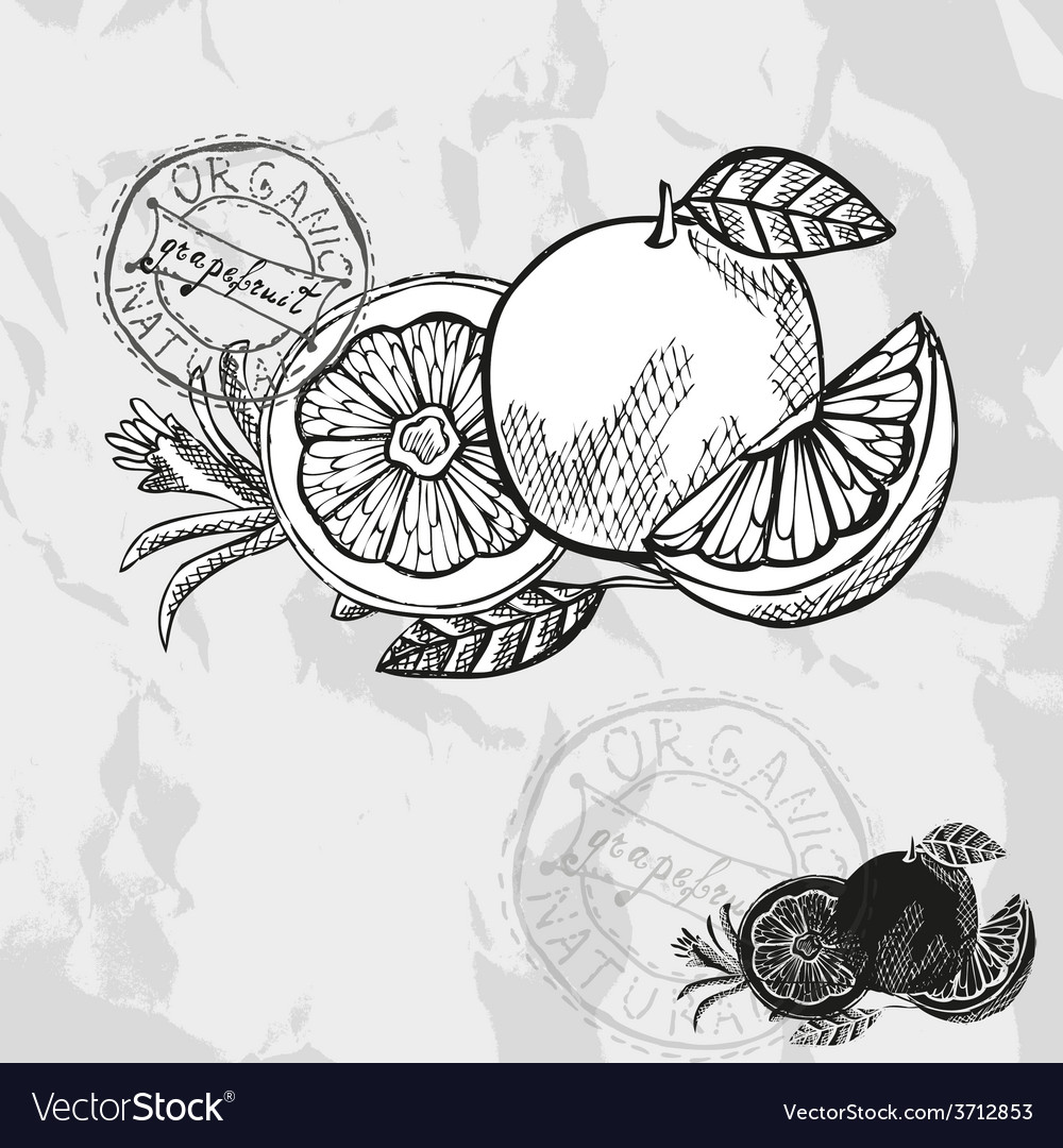 Hand drawn decorative grapefruits vector | Price: 1 Credit (USD $1)