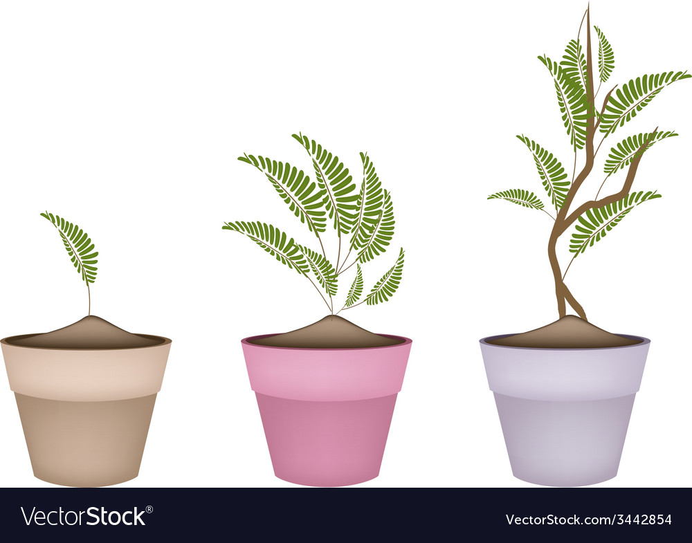 Fresh tamarind tree in terracotta flower pots vector | Price: 1 Credit (USD $1)