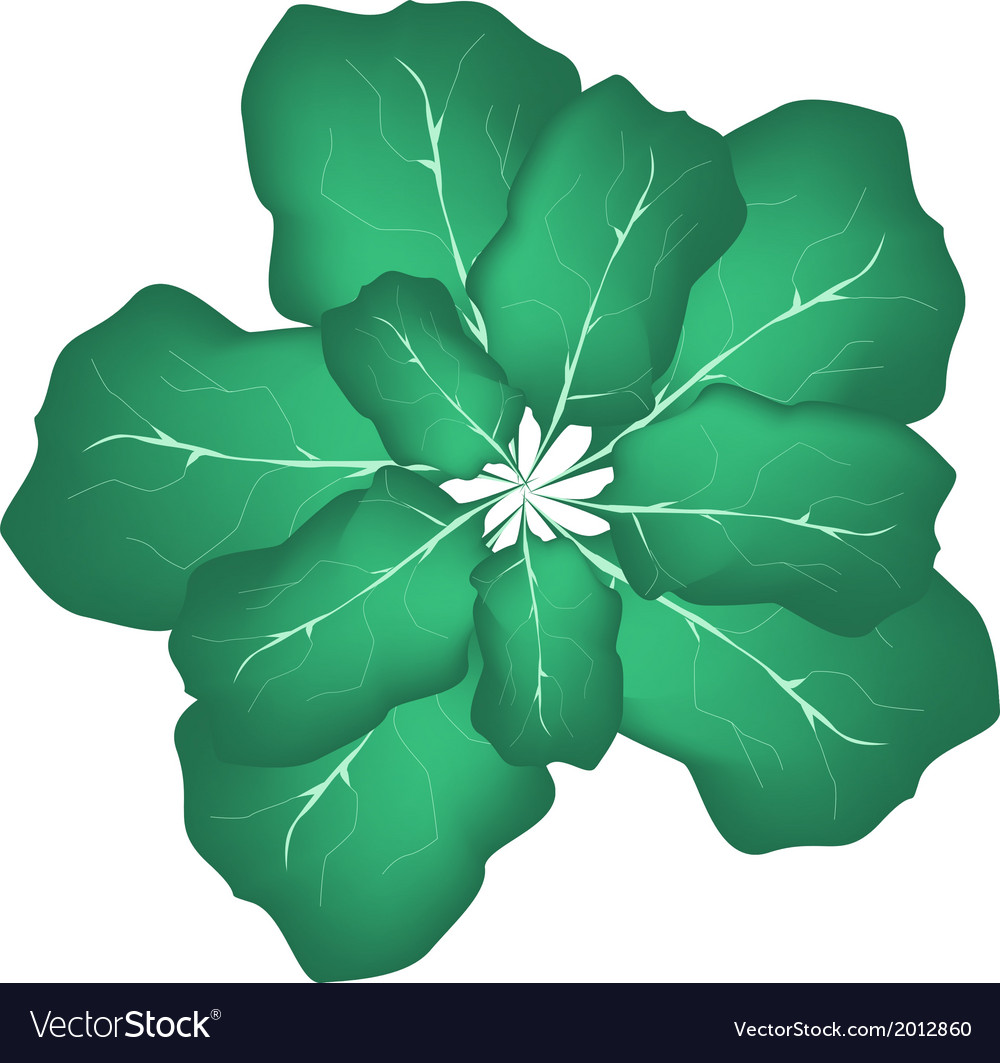 Fresh green cabbage on a white background vector | Price: 1 Credit (USD $1)