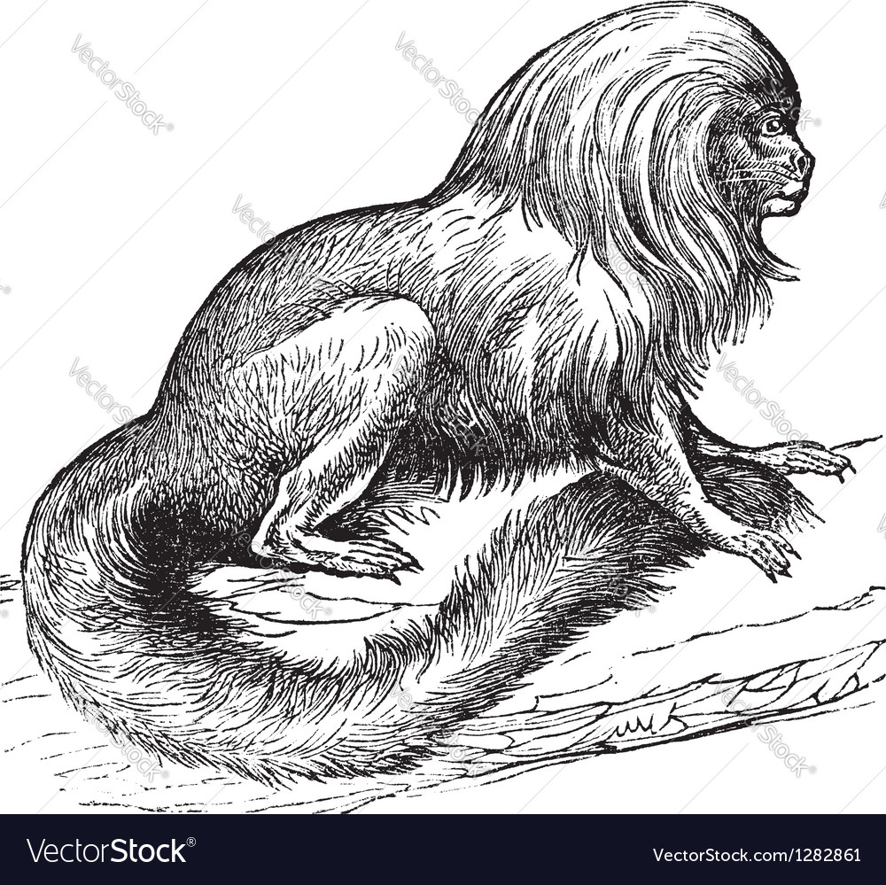 Tamarin vintage engraving vector | Price: 1 Credit (USD $1)
