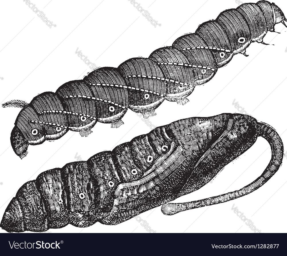 Larva vintage engraving vector   Price: 1 Credit (USD $1)