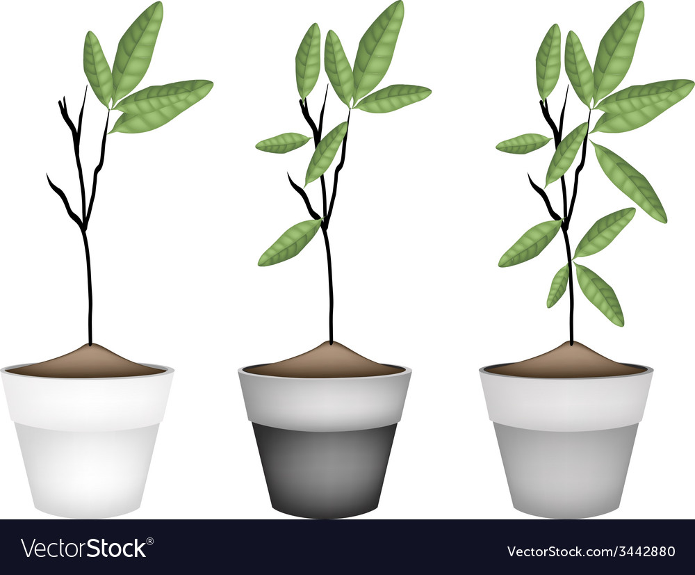 Beautiful ornamental trees in ceramic flower pots vector | Price: 1 Credit (USD $1)