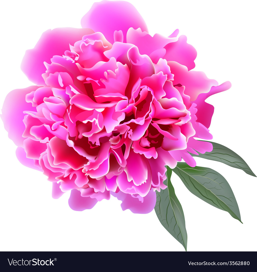 Pink realistic paeonia flower with tree leaves vector | Price: 1 Credit (USD $1)