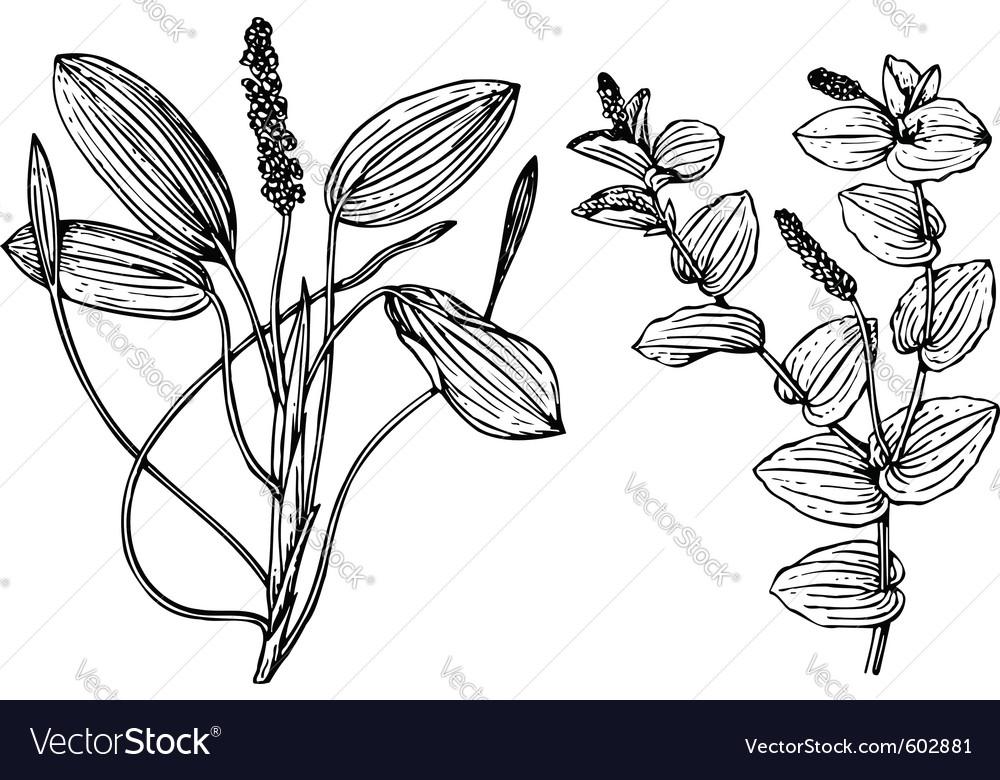 Plant potanogeton vector   Price: 1 Credit (USD $1)
