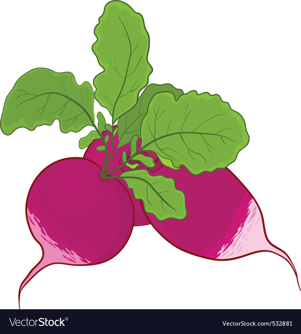 Radish with leaves vector | Price: 1 Credit (USD $1)