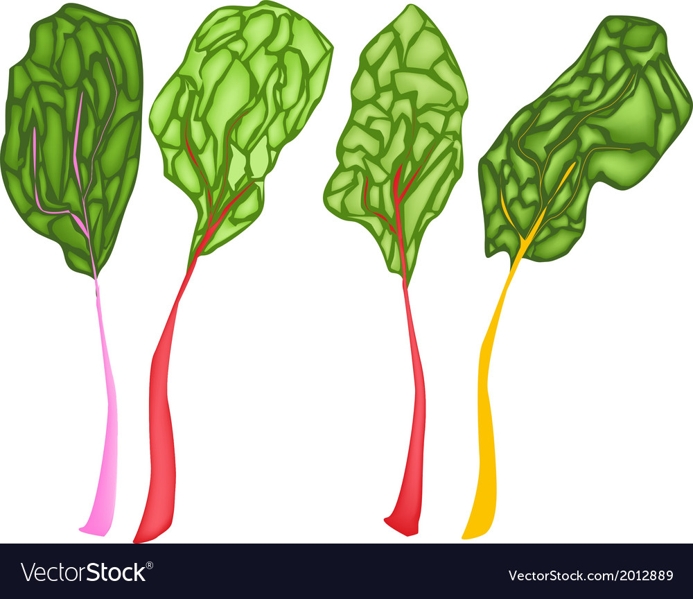 Fresh ruby red chard on white background vector   Price: 1 Credit (USD $1)