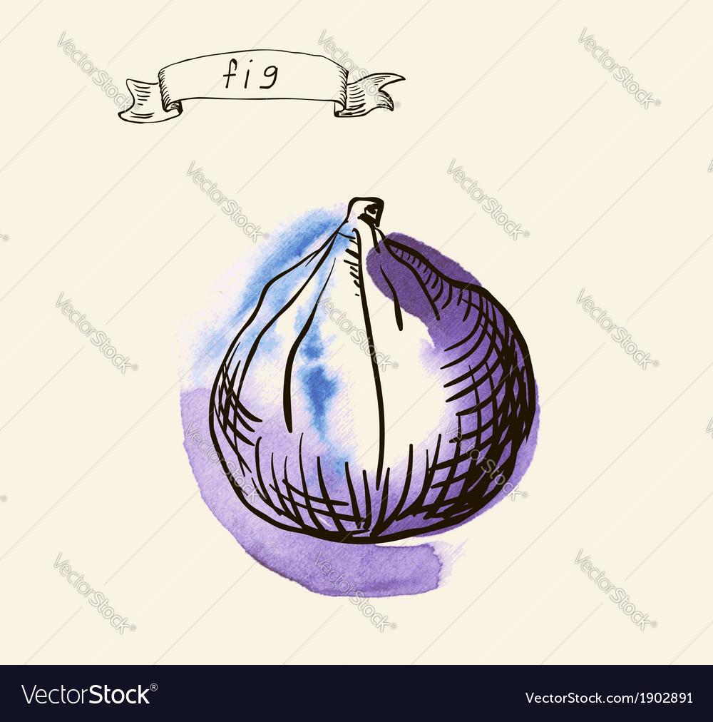 Fig sketch vector | Price: 1 Credit (USD $1)