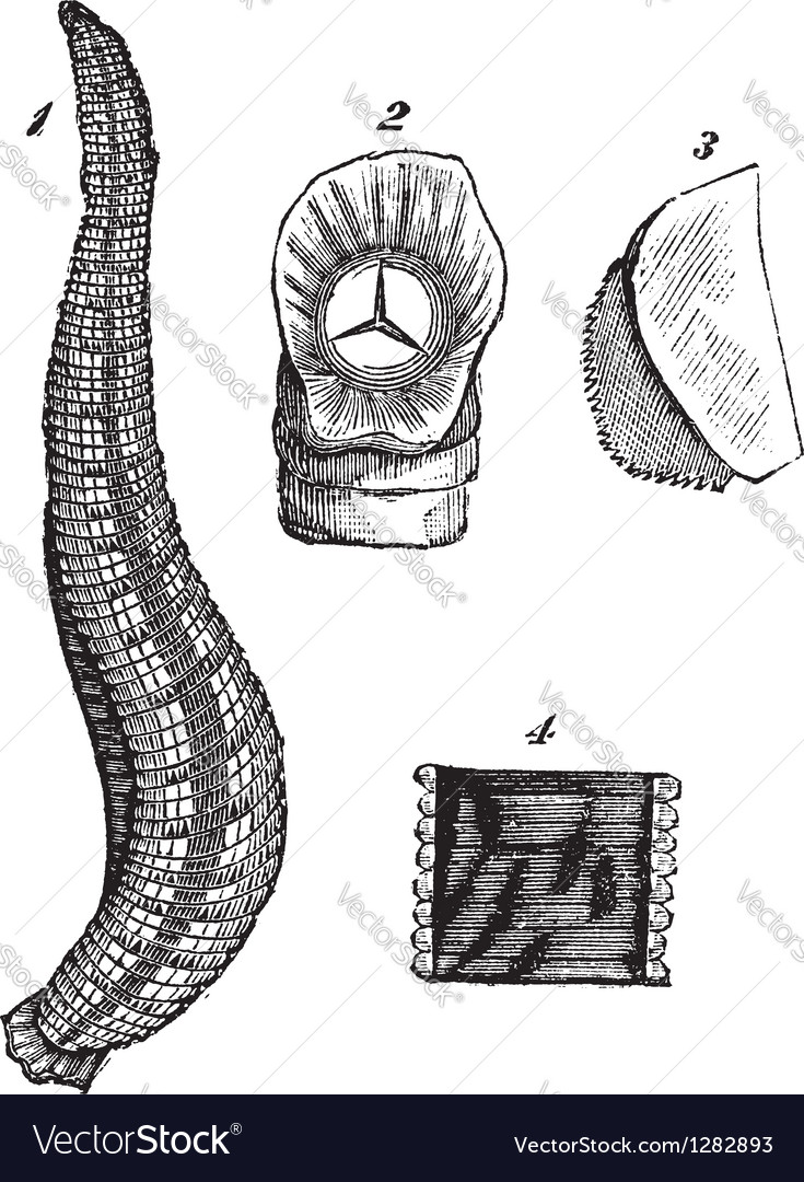 Medicinal leech vintage sketch vector | Price: 1 Credit (USD $1)