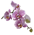 Realistic of orchid or phalaenopsis vector