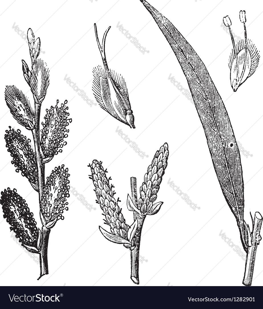 Common osier vintage engraving vector | Price: 1 Credit (USD $1)