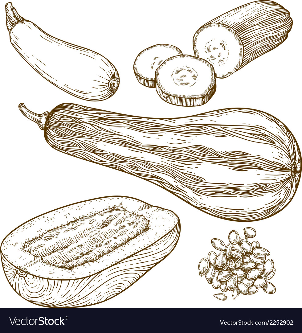 Engraving squash vector | Price: 1 Credit (USD $1)