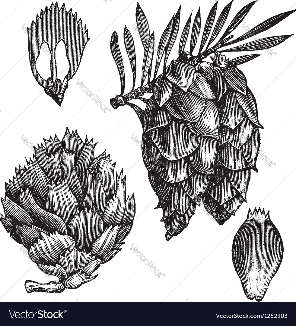 Black spruce vintage engraving vector | Price: 1 Credit (USD $1)