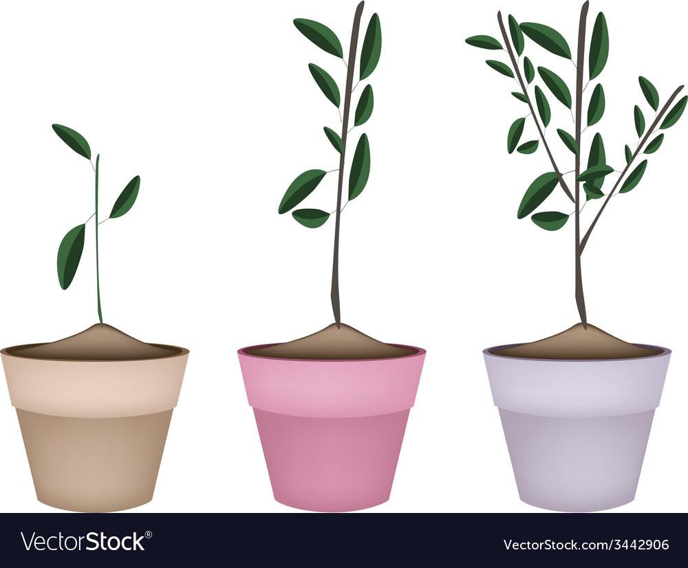 Beautiful ornamental trees in ceramic flower pots vector   Price: 1 Credit (USD $1)