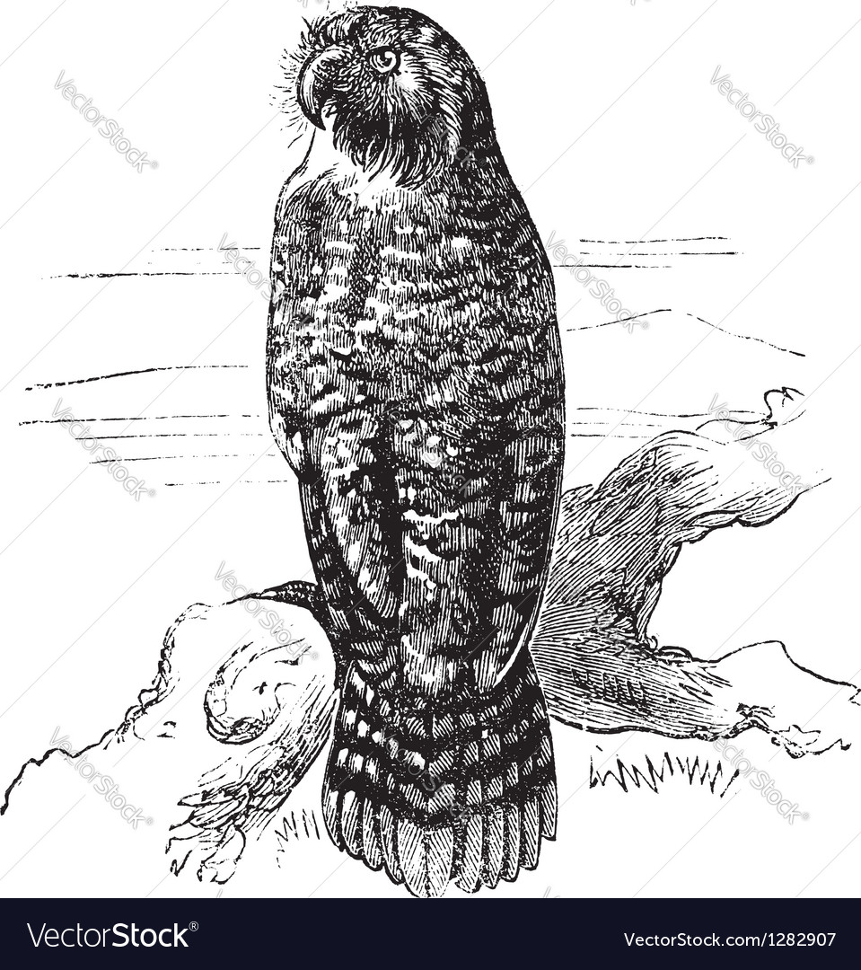 Kakapo vintage engraving vector | Price: 1 Credit (USD $1)