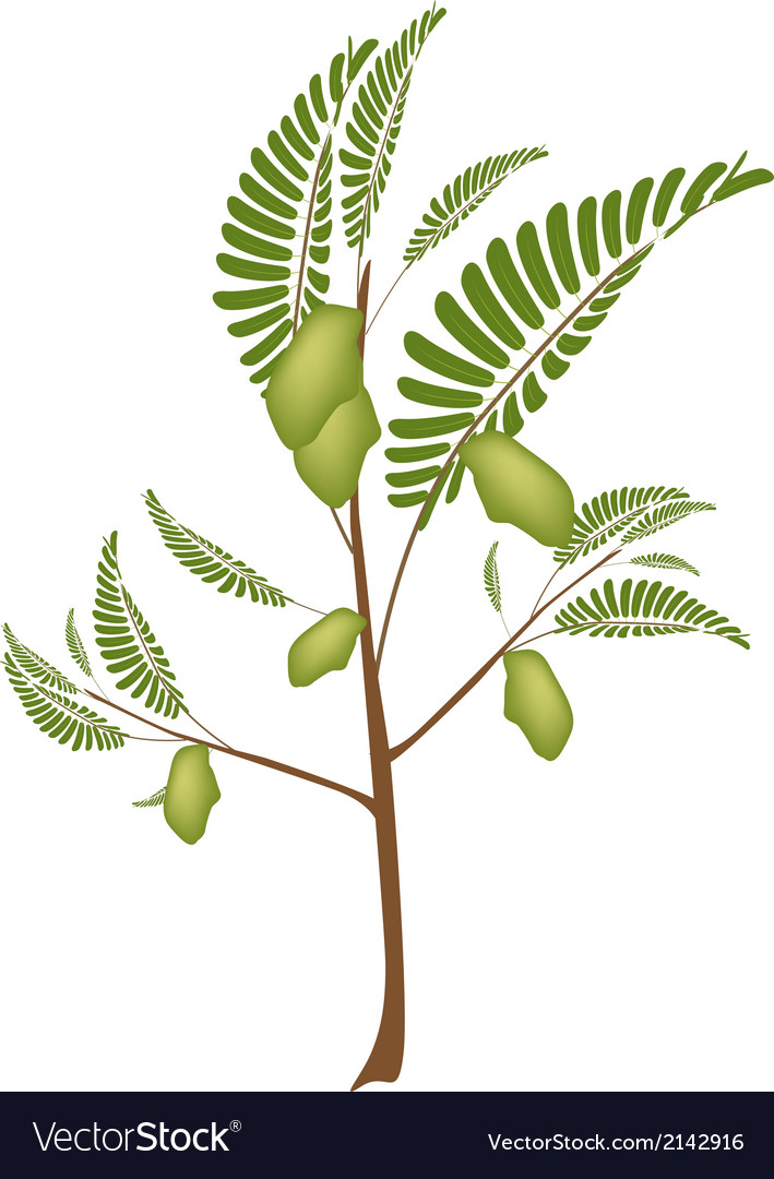 Pod of chick peas on a plant vector | Price: 1 Credit (USD $1)