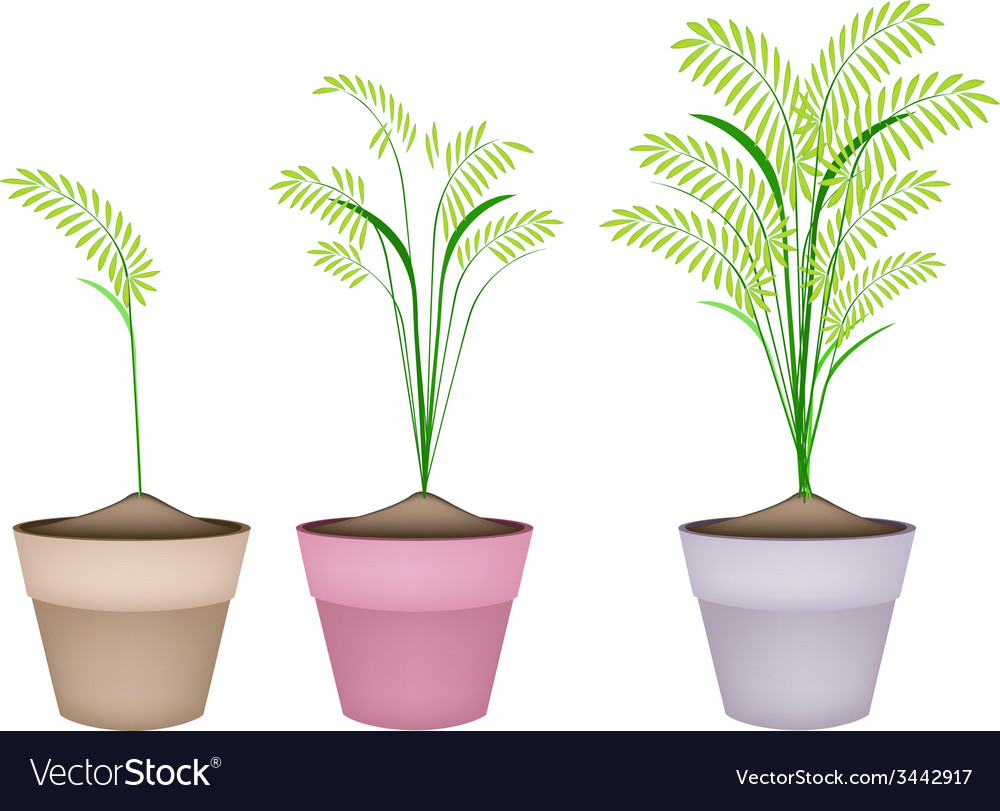 Cereal plants or ferns in terracotta flower pots vector | Price: 1 Credit (USD $1)