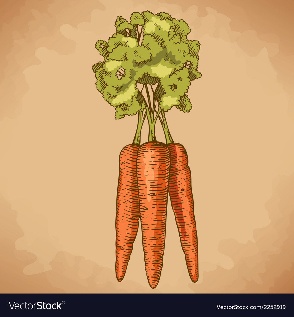 Engraving carrot retro vector | Price: 1 Credit (USD $1)