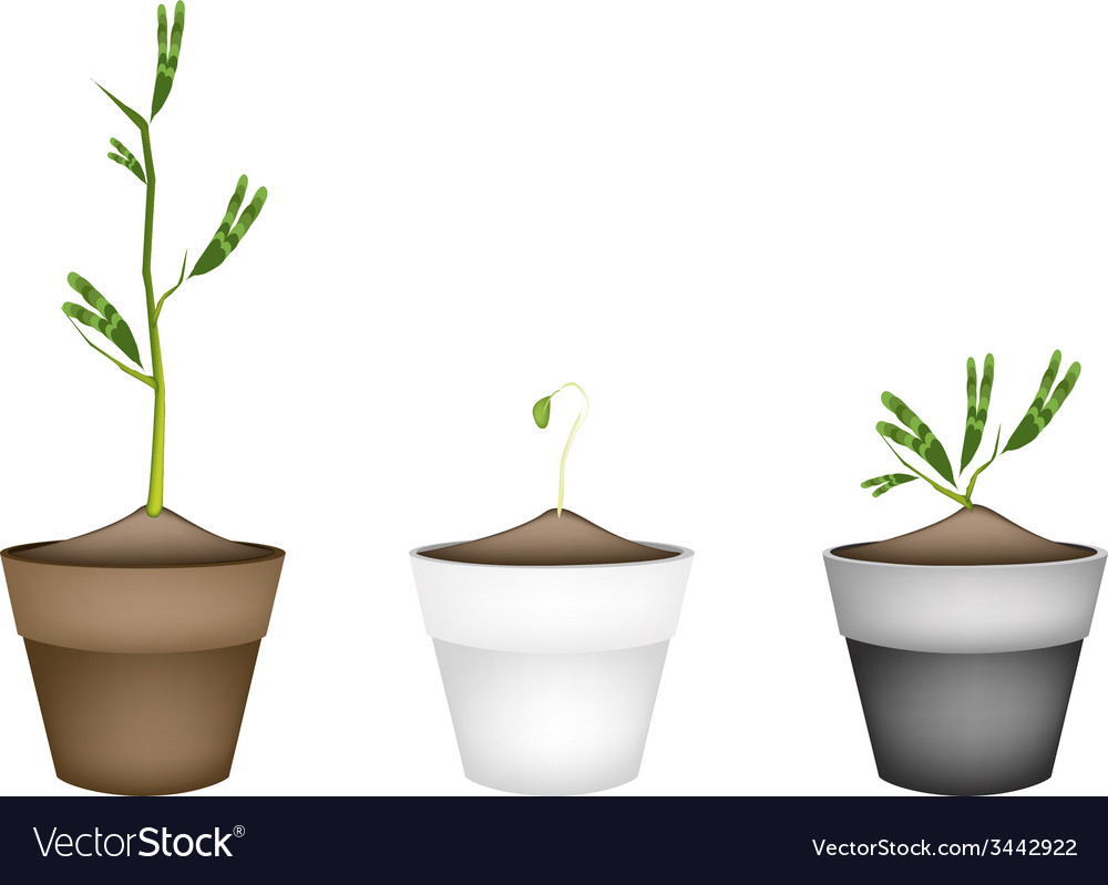 Fresh water mimosa in ceramic flower pots vector | Price: 1 Credit (USD $1)