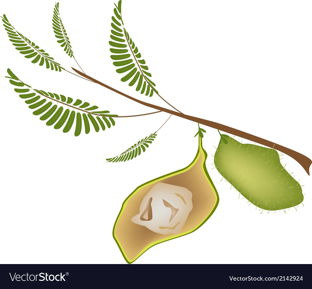 Ripe pod of chick peas on a plant vector | Price: 1 Credit (USD $1)