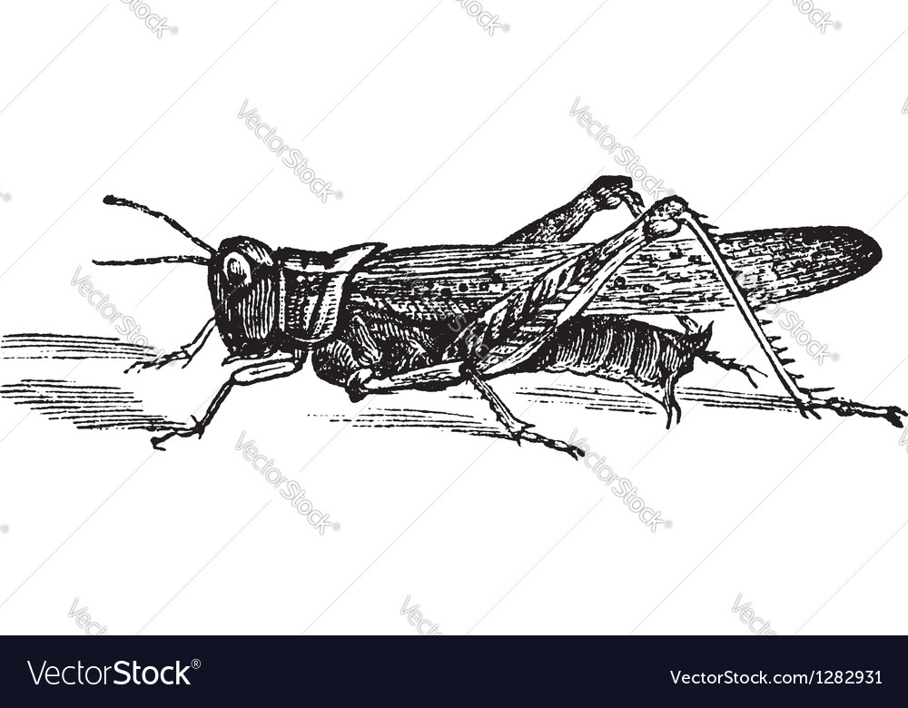 Rocky mountain locust vector | Price: 1 Credit (USD $1)