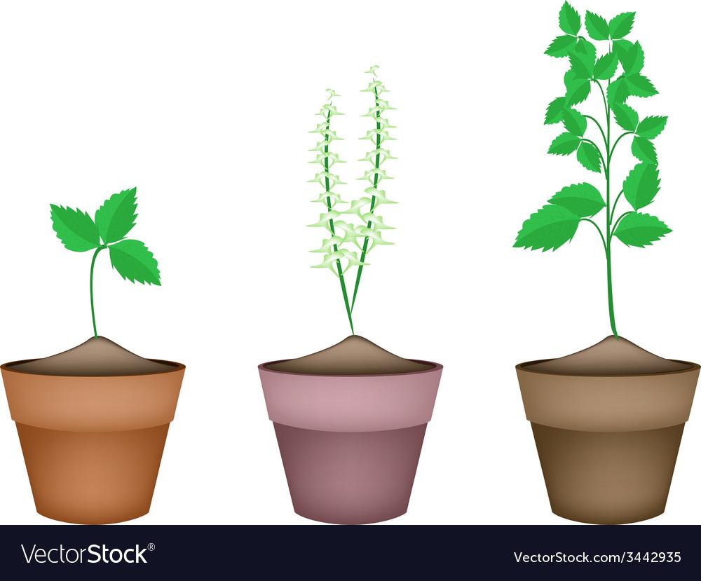 Holy basil plants in ceramic flower pots vector   Price: 1 Credit (USD $1)