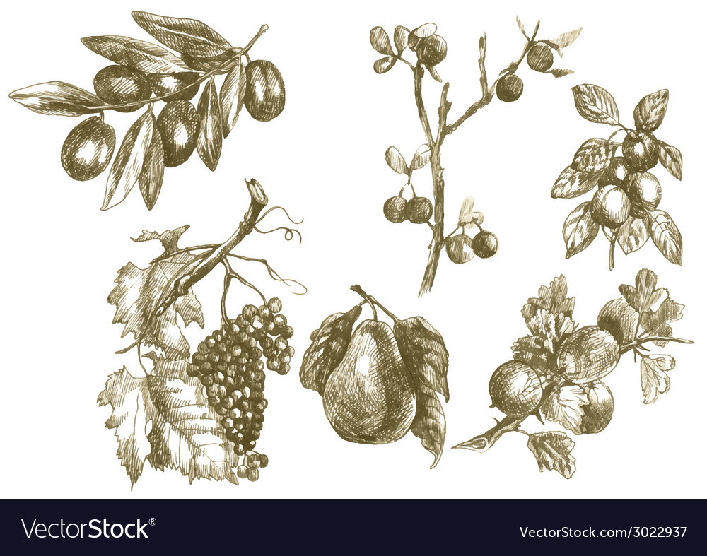 Plants - fruits vector | Price: 1 Credit (USD $1)