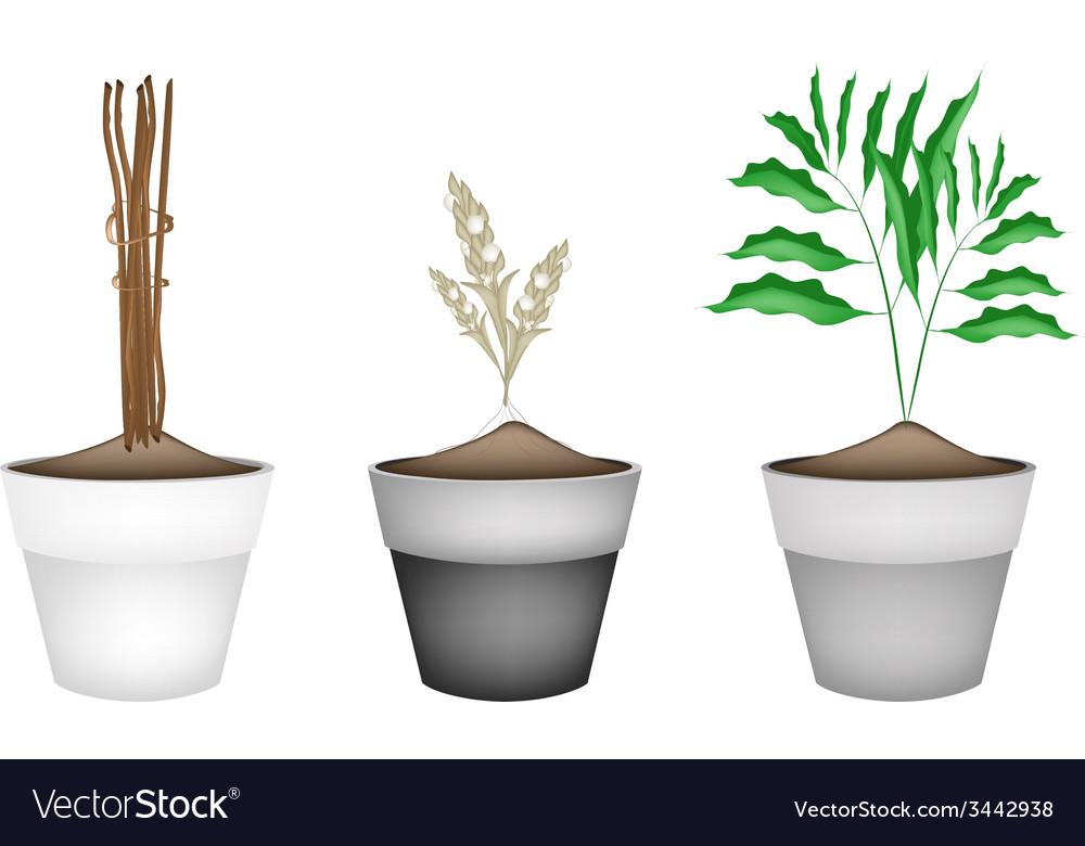 Fresh cardamon plants in ceramic flower pots vector | Price: 1 Credit (USD $1)