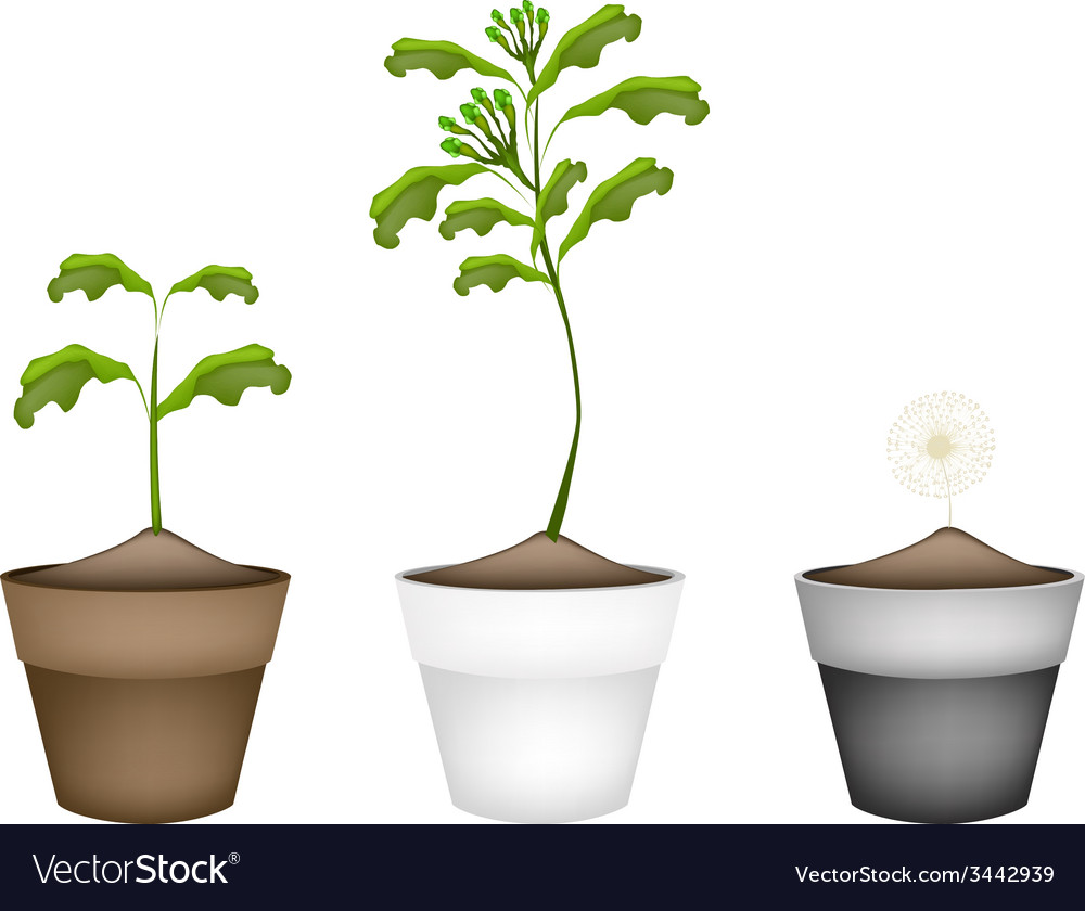 Fresh clove plant in ceramic flower pots vector | Price: 1 Credit (USD $1)