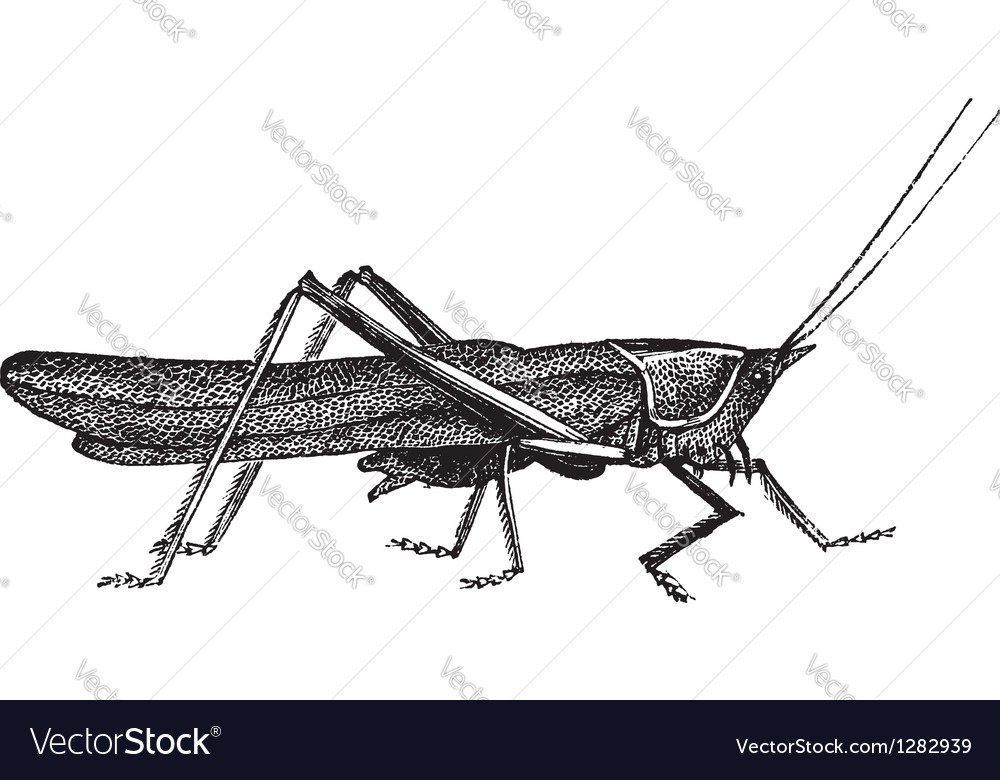 Meadow grasshopper sketch vector | Price: 1 Credit (USD $1)