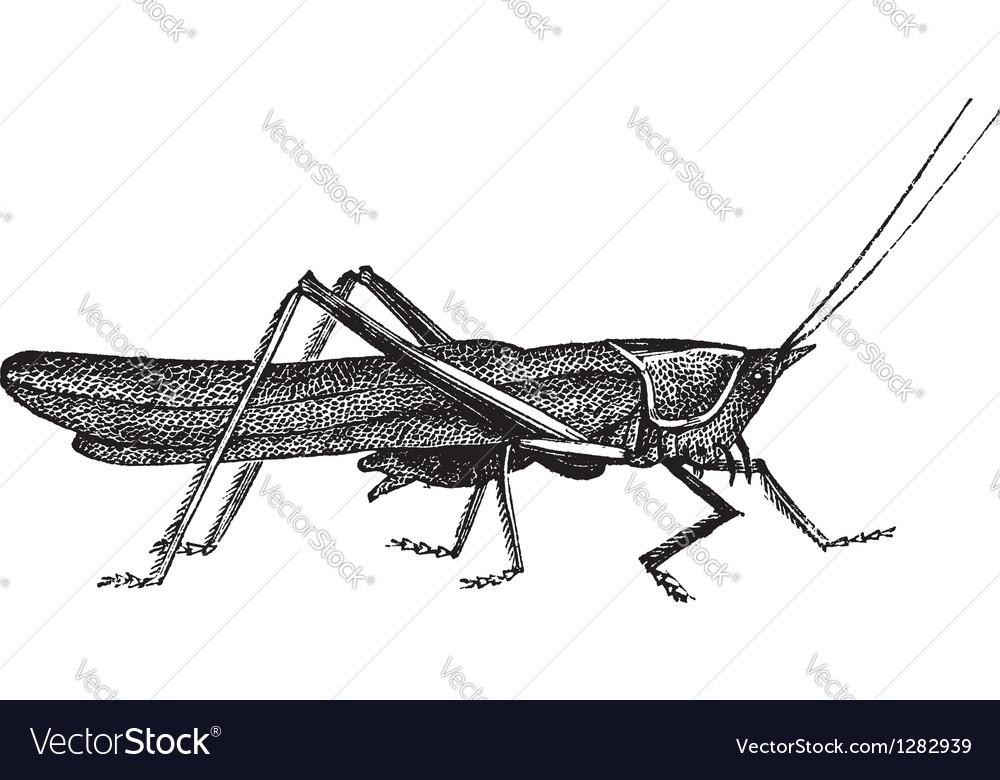 Meadow grasshopper sketch vector   Price: 1 Credit (USD $1)