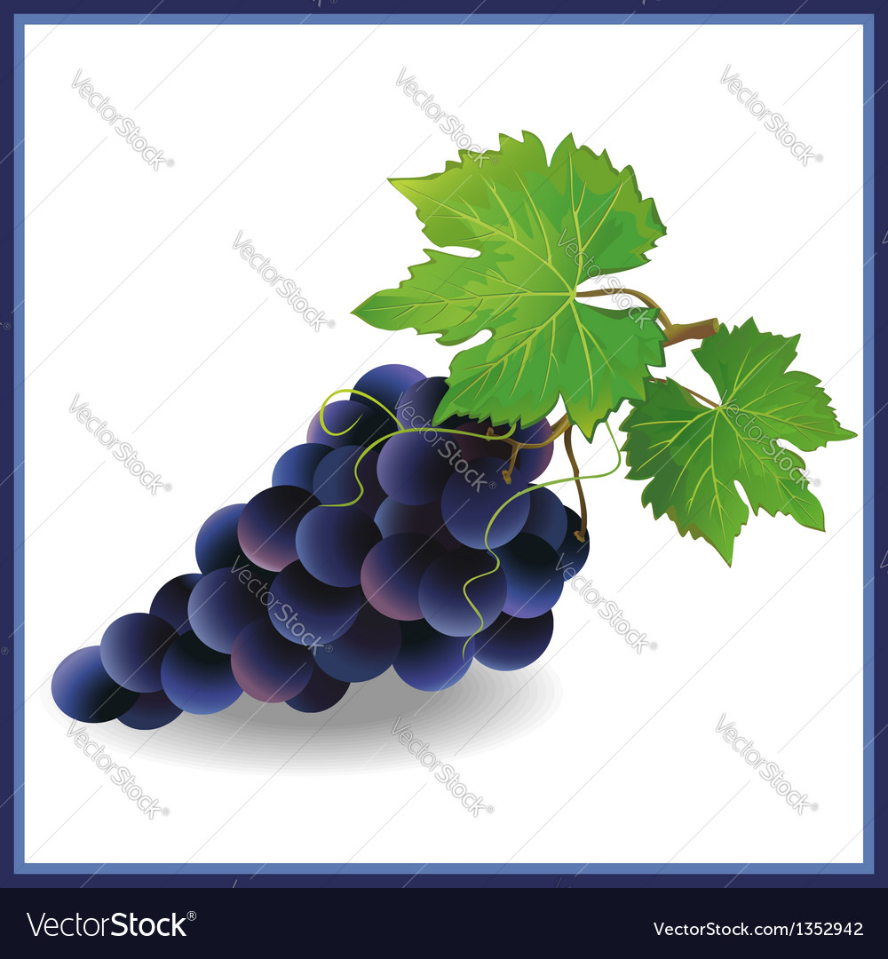Realistic black grape with green leaves vector | Price: 1 Credit (USD $1)