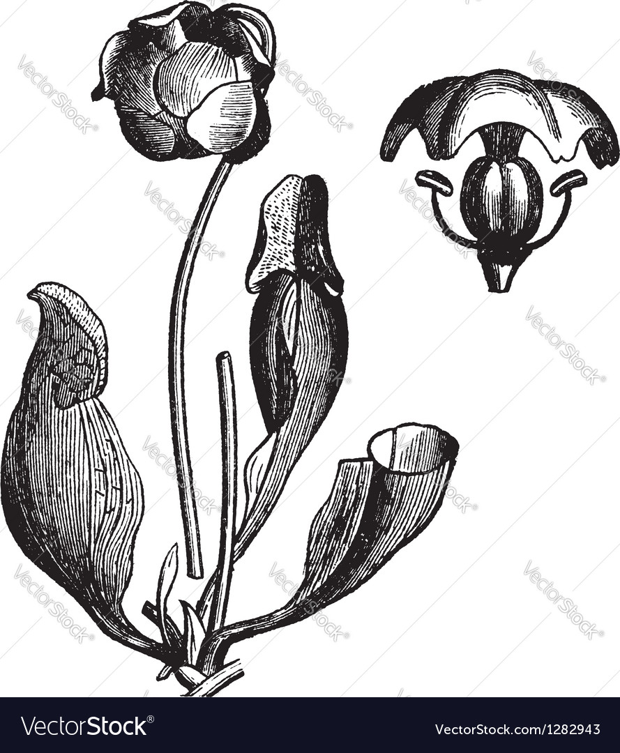 Vintage pitcher plant vector | Price: 1 Credit (USD $1)