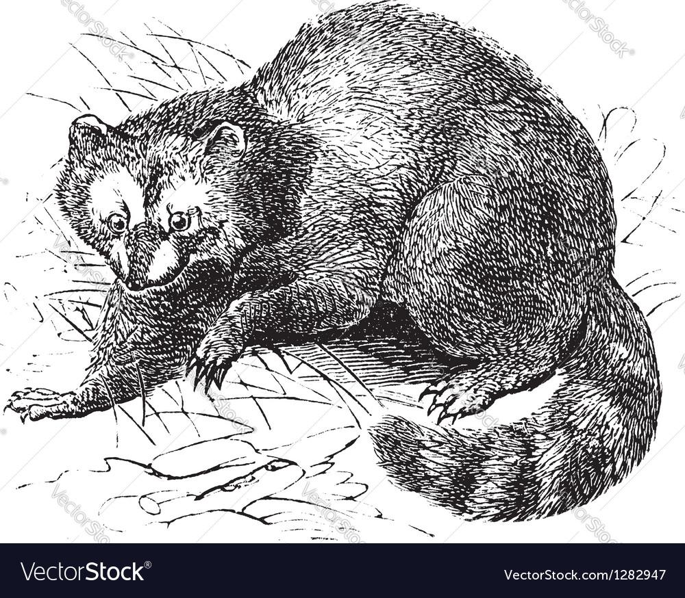 Vintage raccoon sketch vector | Price: 1 Credit (USD $1)