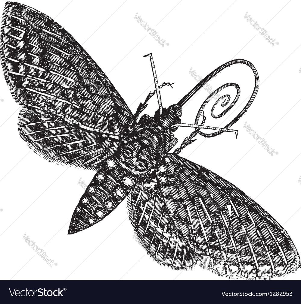 Vintage hawk moth sketch vector | Price: 1 Credit (USD $1)