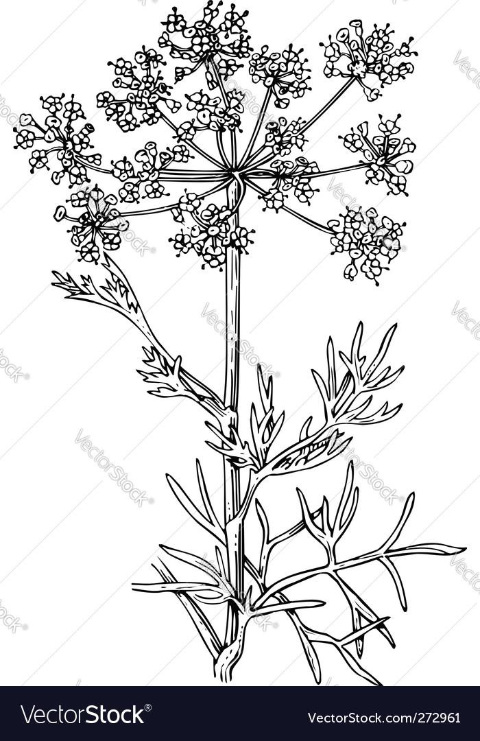 Foeniculum flowering fennel vector | Price: 1 Credit (USD $1)