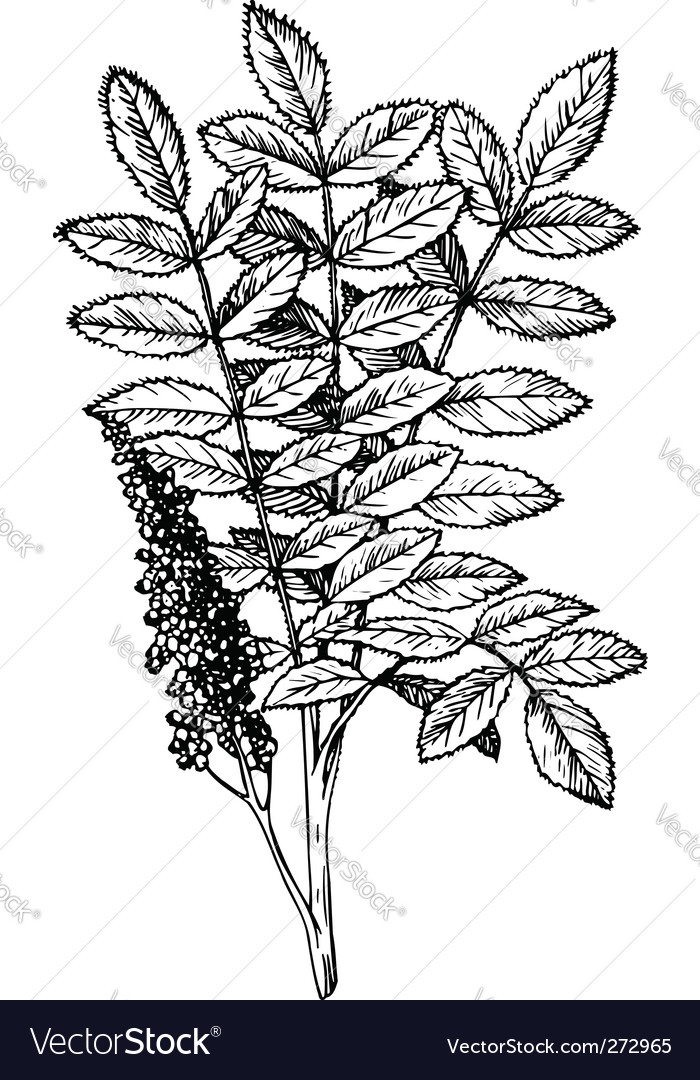 Rhus staghorn sumac vector | Price: 1 Credit (USD $1)