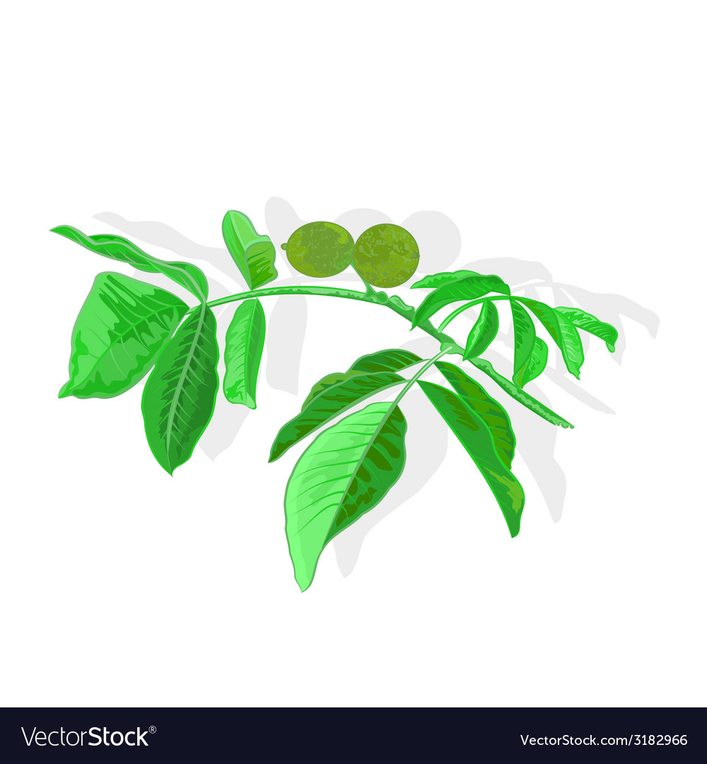 Nuts branch vector | Price: 1 Credit (USD $1)
