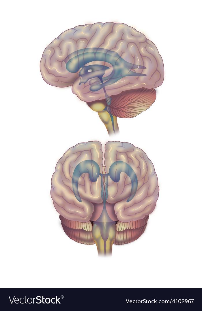 Brain diagram vector