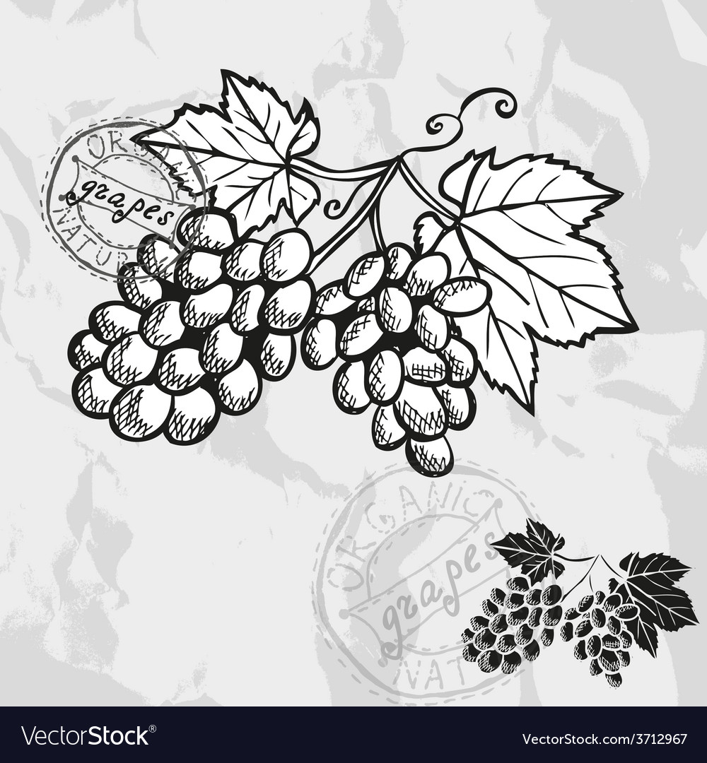 Hand drawn decorative grapes vector | Price: 1 Credit (USD $1)