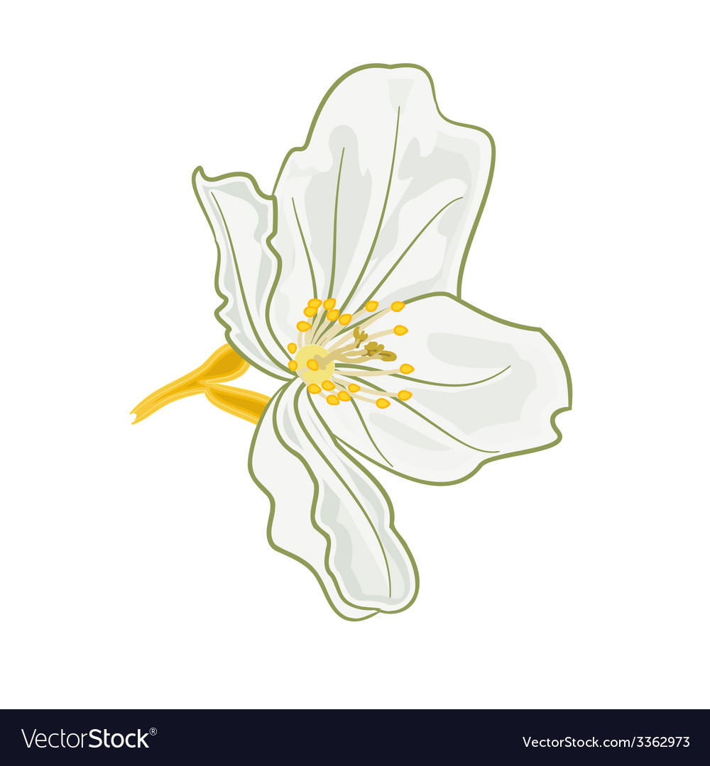 Jasmine flower isolated on a white background vector | Price: 1 Credit (USD $1)