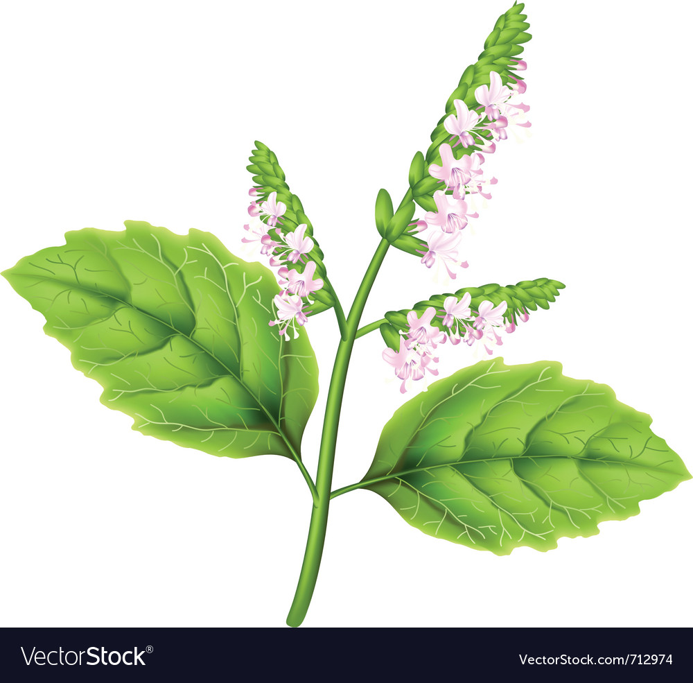 Pogostemon plant vector | Price: 1 Credit (USD $1)