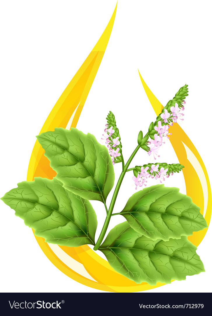 Essential pogostemon oil vector | Price: 1 Credit (USD $1)