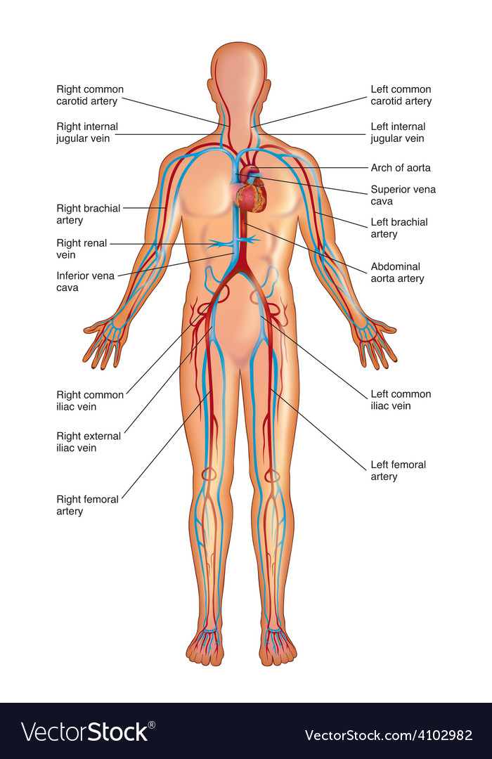 Diagram of circulatory system vector