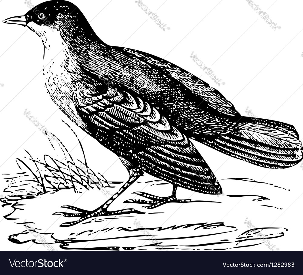 White-throated dipper old engraving vector | Price: 1 Credit (USD $1)
