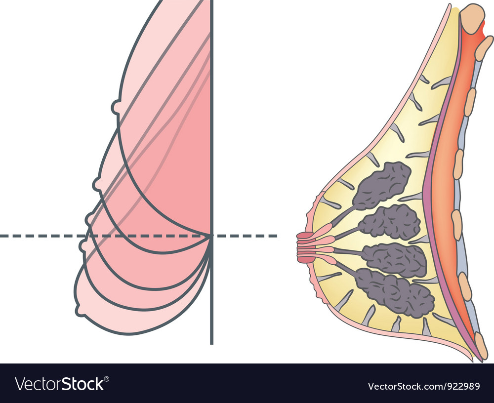 Anatomy of female breast vector | Price: 1 Credit (USD $1)
