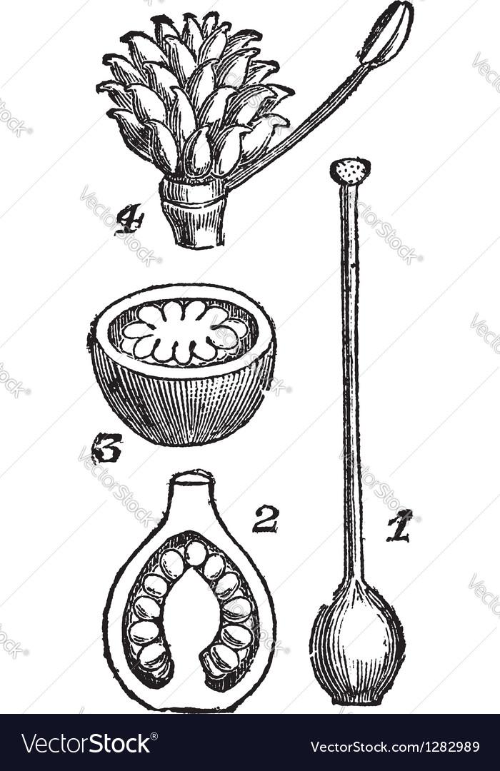 Pistil flower pod sketch vector | Price: 1 Credit (USD $1)