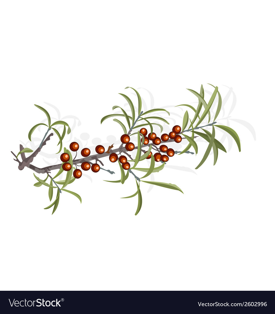 Buckthorn berries and foliage vector | Price: 1 Credit (USD $1)